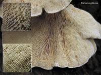 Trametes gibbosa – траметес горбатый (кориолоидная форма). Фото Татьяны Светловой (Москва)