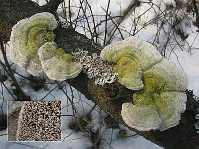 Фото с сайта Удивительный мир грибов Татьяны Светловой Автор фото: Станислав Кривошеев