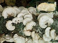 Trametes pubescens - траметес пушистый. Фото Владимира Капитонова (Ижевск, Удмуртия), 26 сентября 2008 г.