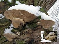 Trametes suaveolens - траметес душистый (трутовик душистый). Фото Татьяны Светловой (Москва), 9 марта 2009 г.