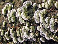Trichaptum abietinum - трихаптум еловый (еловый трутовик). Фото Татьяны Светловой (Москва), 8 августа 2008 г.