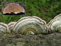 Trichaptum abietinum - трихаптум еловый (еловый трутовик). Фото Владимира Капитонова (Ижевск, Удмуртия), 6 июля 2008 г.