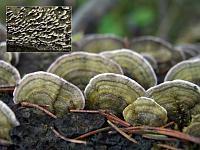 Trichaptum abietinum - трихаптум еловый (еловый трутовик). Фото Владимира Капитонова (Ижевск, Удмуртия), 9 декабря 2008 г.