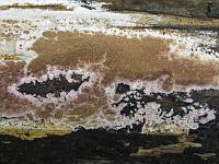 Trichaptum abietinum - трихаптум еловый (еловый трутовик). Фото Татьяны Светловой (Москва), 28 июня 2009 г.