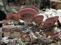 Trichaptum biforme (syn. T. pargamenum) - трихаптум двоякий (трихаптум пергаментный). Фото Татьяны Светловой (Москва), 2 августа 2009 г.