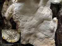 Tyromyces fissilis (syn. Aurantiporus fissilis)  – тиромицес расщепляющийся. Фото Татьяны Светловой (Москва), 3 августа 2008 г.