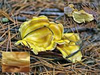 Xanthoporus syringae – ксантопорус сирени Автор фото. Андрей Якименко (Москва), 3 ноября 2007 г.