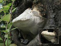 Tyromyces fissilis (syn. Aurantiporus fissilis) - тиромицес расщепляющийся. Фото Татьяны Светловой (Москва), 4 августа 2008 г.