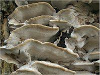 Bjerkandera fumosa - трутовик дымчатый. Фото Татьяны Светловой (Москва), 16 октября 2008 г.
