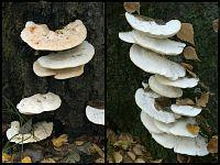 Climacocystis borealis - климакоцистис северный. Фото Владимира Капитонова (Ижевск), 23 октября 2009 г.