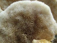 Climacodon septentrionalis - климакодон северный. Фото Татьяны Светловой (Москва), 26 июля 2008 г.