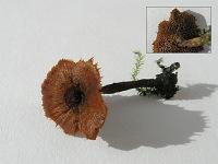 Coltricia cinnamomea - кольтриция коричневая. Фото Константина Теплова (Москва), 2 августа 2009 г.