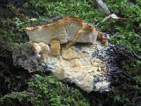 Tyromyces aurantiacus – тиромицес оранжевый. Фото Галины Юпиной (Татарстан), 20 сентября 2009 г.