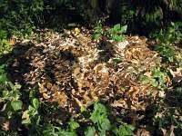 Grifola frondosa - Грифола лиственная, гриб-баран. Фото Татьяны Светловой (Москва), 30 сентября 2010 г.