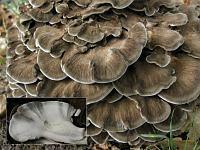 Grifola frondosa - Грифола лиственная, гриб-баран. Фото Татьяны Светловой (Москва), 12 сентября 2009 г.