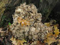 Grifola frondosa – грифола лиственная, гриб-баран. Фото Татьяны Светловой (Москва), 18 сентября 2010 г.