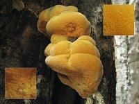 Hapalopilus croceus - гапалопилус шафранно-желтый. Фото Татьяны Светловой (Москва), 24 июля 2009 г.