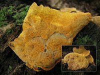 Hapalopilus croceus - гапалопилус шафранно-желтый. Фото Татьяны Светловой (Москва), 3 августа 2009 г.