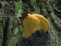 Hapalopilus croceus - гапалопилус шафранно-желтый. Фото Татьяны Светловой (Москва), 29 июля 2009 г.