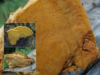 Hapalopilus croceus - гапалопилус шафранно-желтый. Фото Татьяны Светловой (Москва), 1 сентября 2009 г.