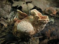 Hapalopilus rutilans - гапалопилус красноватый. Фото Татьяны Светловой (Москва), 7 августа 2009 г.