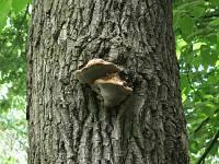 Inonotus dryophilus - трутовик дубовый. Фото Татьяны Светловой (Москва), 12 июля 2011 г.