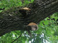 Inonotus dryophilus - трутовик дубовый. Фото Татьяны Светловой (Москва), 31 июля 2009 г.
