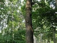 Inonotus dryophilus – трутовик дубовый. Фото Татьяны Светловой (Москва), 25 июня 2011 г.