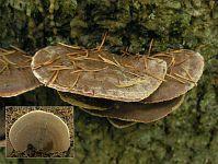 Inonotus leporinus (syn. Onnia leporina) - инонотус заячий. Фото Константина Теплова (Москва), 3 октября 2010 г.