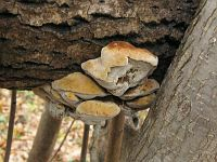 Inonotus radiatus (syn. Mensularia radiata) - трутовик лучевой. Фото Татьяны Светловой (Москва), 8 ноября 2010 г.