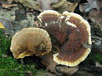 Inonotus radiatus (syn. Mensularia radiata) - трутовик лучевой. Фото Татьяны Светловой (Москва), 26 сентября 2010 г.
