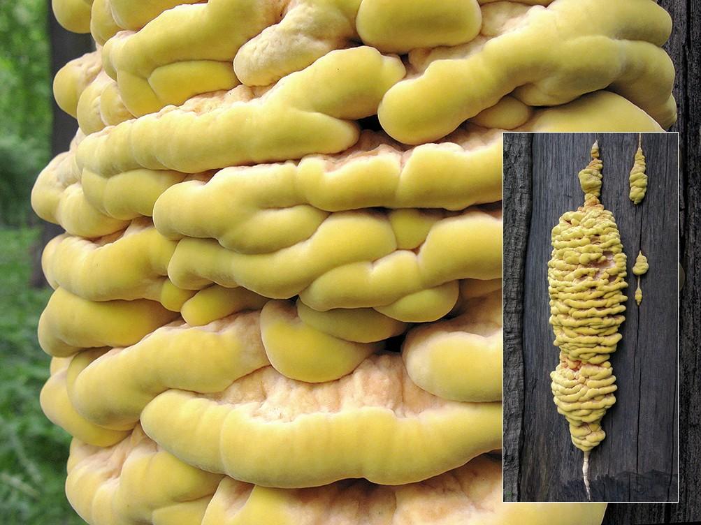 фото трутовик серно желтый