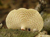 Polyporus alveolaris – полипорус ячеистый. Фото Александра Зыкова (Бровары, Украина), 9 июля 2011 г.