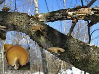 Polyporus brumalis - трутовик зимний. Фото Салавата Арсланова (Санкт-Петербург), 23 марта 2009 г.