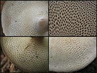 Polyporus brumalis - трутовик зимний. Фото Татьяны Светловой и Алексея Мясникова (Москва)