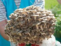 Polyporus umbellatus (syn. Grifola umbellata) - полипорус зонтичный. Фото Сергея Соколова (Москва), 1 августа 2009 г.