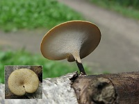 Polyporus varius – полипорус изменчивый. Фото Татьяны Светловой (Москва), 4 июля 2009 г.