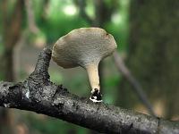 Polyporus varius – полипорус изменчивый. Фото Татьяны Светловой (Москва), 28 июня 2009 г.