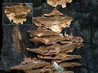 Postia balsamea – постия пихтовая. Фото Владимира Капитонова (Ижевск), 15 октября 2008 г.