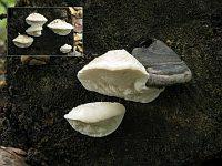 Postia tephroleuca – постия серо-белая. Фото Татьяны Светловой (Москва), 19 сентября 2009 г.