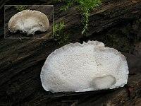 Postia tephroleuca – постия серо-белая. Фото Татьяны Светловой (Москва), 3 октября 2010 г.