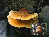 Pycnoporellus fulgens - пикнопореллус блестящий. Фото Владимира Капитонова (Ижевск), 21 июля 2008 г.