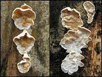 Skeletocutis amorpha - скелетокутис бесформенный. Фото Татьяны Светловой (Москва), 12 ноября 2009 г.