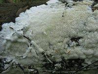 Anomoporia albolutescens (syn. Anomoloma albolutescens) - аномопория бело-желтоватая. Фото Татьяны Светловой (Москва), 5 сентября 2009 г.