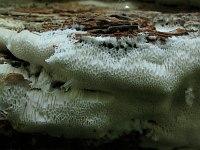 Anomoporia albolutescens (syn. Anomoloma albolutescens) - аномопория бело-желтоватая. Фото Татьяны Светловой (Москва), 28 августа 2011 г.