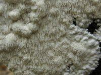 Anomoporia kamtschatica - аномопория камчатская. Фото Татьяны Светловой (Москва), 13 сентября 2010 г.
