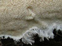 Anomoporia kamtschatica - аномопория камчатская. Фото Татьяны Светловой (Москва), 6 октября 2011 г.