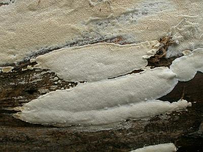 Фото с сайта Удивительный мир грибов Татьяны Светловой Автор фото: Владимир Капитонов
