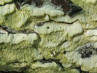 Antrodia xantha - антродия золотисто-желтая. Фото Татьяны Светловой (Москва), 7 сентября 2011 г.
