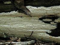 Antrodia xantha - антродия золотисто-желтая. Фото Татьяны Светловой (Москва), 24 июля 2012 г.
